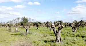 ulivi capitozzati zona li sauli Taviano - lecce