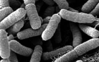 Xylella-fastidiosa batterio