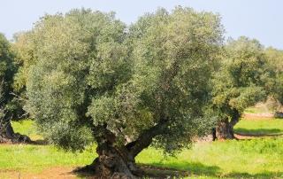 ulivo olivo