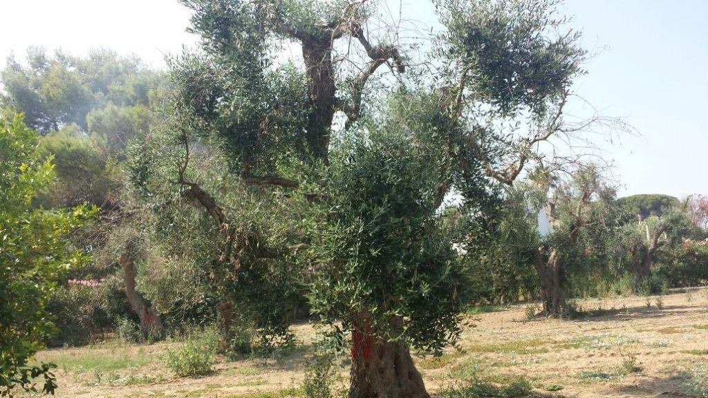 ulivi copagri