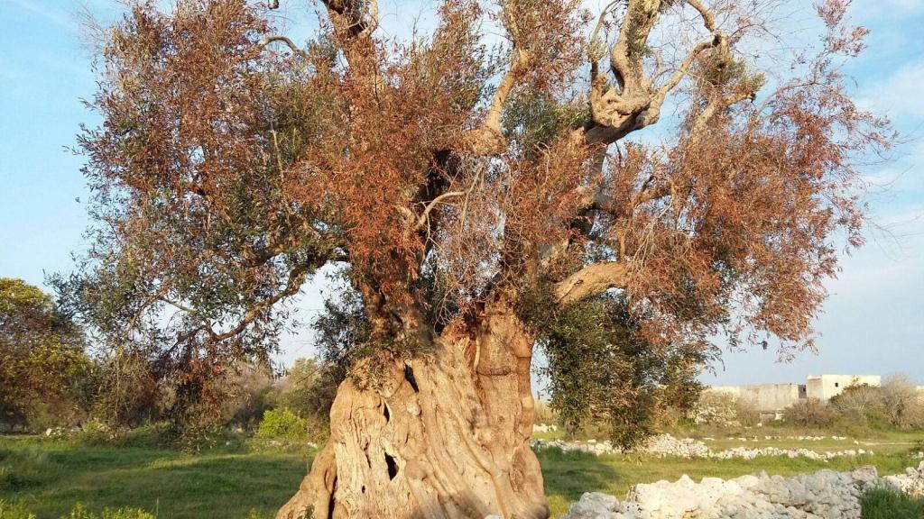 """Il maestoso ulivo denominato """"la Regina"""" ha un'età presunta di 2000 anni. Si trova tra i Comuni di Vernole e Strudà, in provincia di Lecce"""